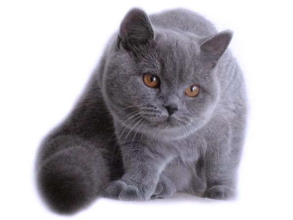Koty Brytyjskie Niebieskie Mioty Kociaki Brytyjskie Hodowla Moon
